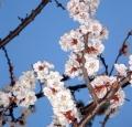 abricot_en_fleur_detail