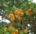 prunus_armeniaca_nubra_valley_fruit