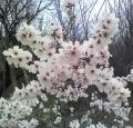 abricot_en_fleur