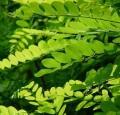 acacia_feuilles