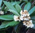 Eriobotyra japonica coppertone