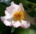camelia-fleur-rose-arbuste-theaceae-