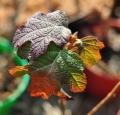 Hydrangea-quercifolia_01