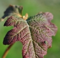 Hydrangea-quercifolia_05