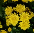 garden-chrysanthemum-10368_640