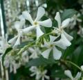 Trachelospermum jasminoïdes