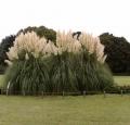 pampas_grass_in_jindai_botanical_garden_-japan