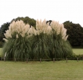 pampas_grass_in_jindai_botanical_garden_-japan