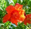 1280px-Punica_granatum_flower