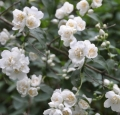 flower-jasmine-shrub-shrubs-plants-smell