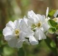 wild-jasmine-white-bush-onlooker