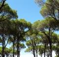 pine-9276_640