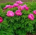 Pivoine bouquet