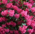azalea-rhododendron-flowers-bloom-colorful-bright