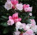 rhododendron-bicolor-flora-spring-garden
