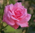 flower-rose-pink-holiday-nature