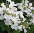 hydrangea-quercifolia_fleurs
