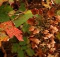 hydrangea_hydrangea_quercifolia_automne