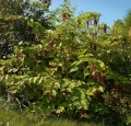 leycesteria_formosa_tree