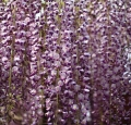 wisteria-cc-by-2-0-tanaka-juuyo